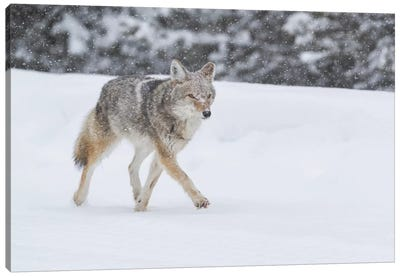 Wyoming, Yellowstone NP. A coyote (Canis latrans) trots along the plowed road in a snowstorm. Canvas Art Print
