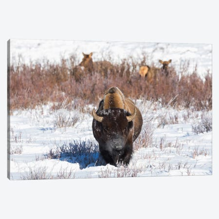 Wyoming, Yellowstone NP. A male bison pauses from eating grass while two female elk browse Canvas Print #EGO79} by Ellen Goff Canvas Artwork