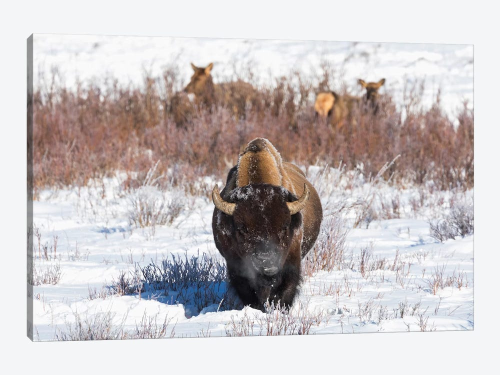 Wyoming, Yellowstone NP. A male bison pauses from eating grass while two female elk browse by Ellen Goff 1-piece Canvas Wall Art