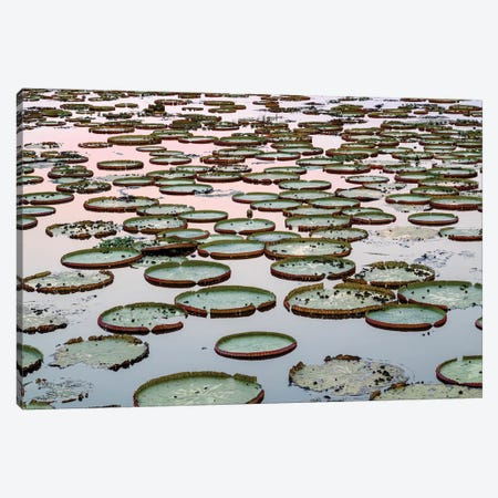 Brazil, The Pantanal. Giant lily pads are in the water at sunset. Canvas Print #EGO7} by Ellen Goff Canvas Artwork
