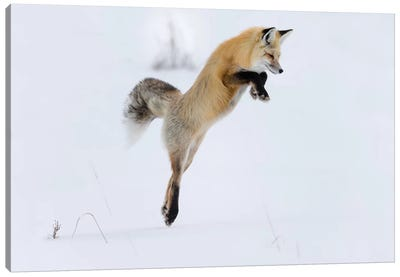 Wyoming, Yellowstone NP. A red fox leaping to break through the snow to get a rodent. Canvas Art Print
