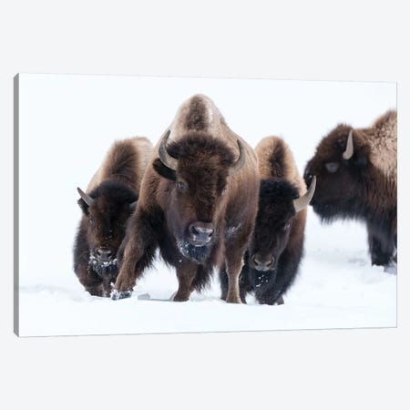 Wyoming, Yellowstone NP. American bison (Bos bison) beginning to run through the deep snow. Canvas Print #EGO81} by Ellen Goff Art Print