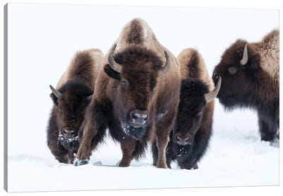 Wyoming, Yellowstone NP. American bison (Bos bison) beginning to run through the deep snow. Canvas Art Print