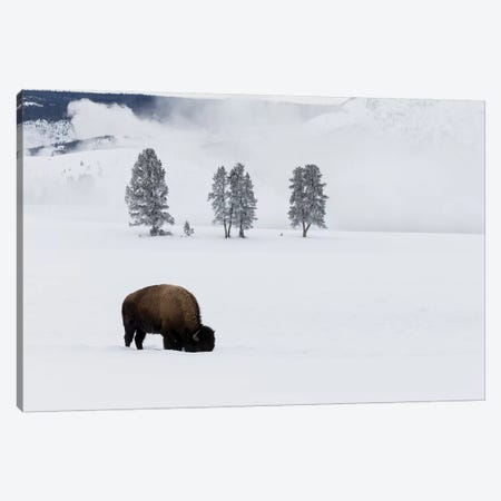 Wyoming, Yellowstone NP. American bison bull foraging beneath the snow for grass Canvas Print #EGO82} by Ellen Goff Canvas Art Print