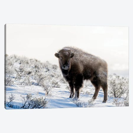 Wyoming, Yellowstone NP. American bison standing in the sage with steam Canvas Print #EGO83} by Ellen Goff Art Print