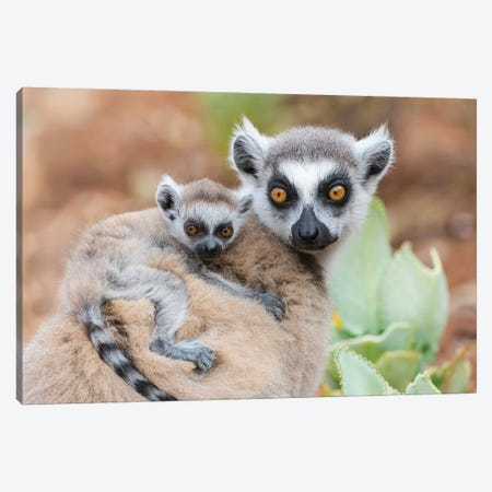 Africa, Madagascar, Anosy, Berenty Reserve. A Baby Ring-Tailed Lemur Clinging To Its Mother'S Back. Canvas Print #EGO85} by Ellen Goff Canvas Artwork