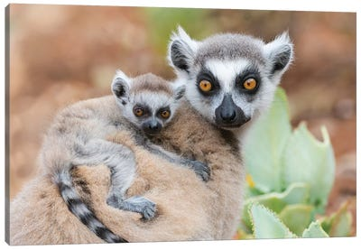 Africa, Madagascar, Anosy, Berenty Reserve. A Baby Ring-Tailed Lemur Clinging To Its Mother'S Back. Canvas Art Print