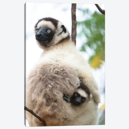 Africa, Madagascar, Anosy, Berenty Reserve. A Female Sifaka Clinging To A Tree While Its Baby Holds On To The Mother'S Back. Canvas Print #EGO86} by Ellen Goff Canvas Wall Art