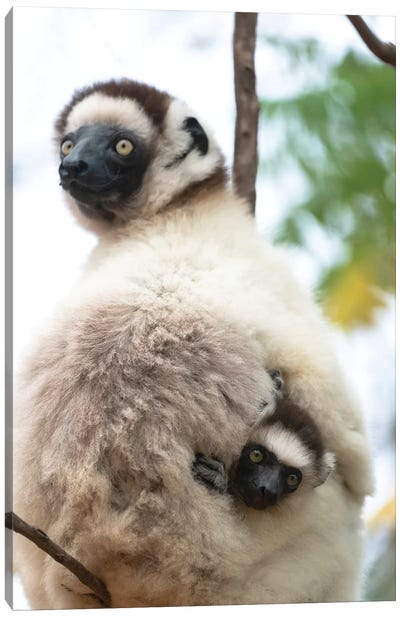 Africa, Madagascar, Anosy, Berenty Reserve. A Female Sifaka Clinging To A Tree While Its Baby Holds On To The Mother'S Back. Canvas Art Print
