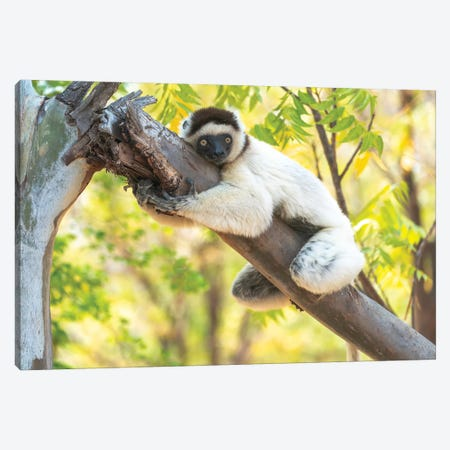 A Verreaux's Sifaka Hugging A Tree, Berenty Reserve, Anosy, Madagascar, Africa Canvas Print #EGO87} by Ellen Goff Canvas Art