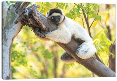 A Verreaux's Sifaka Hugging A Tree, Berenty Reserve, Anosy, Madagascar, Africa Canvas Art Print
