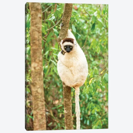 Africa, Madagascar, Anosy, Berenty Reserve. Portrait Of A Verreaux'S Sifaka In A Tree. Canvas Print #EGO88} by Ellen Goff Canvas Print