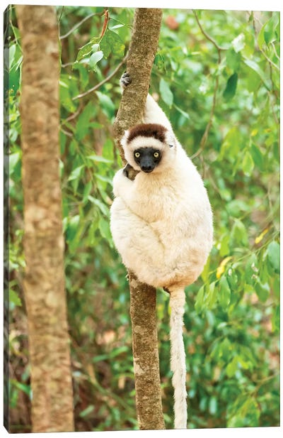Africa, Madagascar, Anosy, Berenty Reserve. Portrait Of A Verreaux'S Sifaka In A Tree. Canvas Art Print