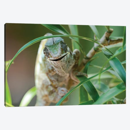 An Open-Mouthed Chameleon On The Trunk Of A Small Bush, Akanin'ny Nofy Reserve, Lake Ampitabe, Madagascar,  Africa Canvas Print #EGO91} by Ellen Goff Canvas Artwork