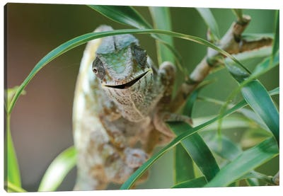 An Open-Mouthed Chameleon On The Trunk Of A Small Bush, Akanin'ny Nofy Reserve, Lake Ampitabe, Madagascar,  Africa Canvas Art Print