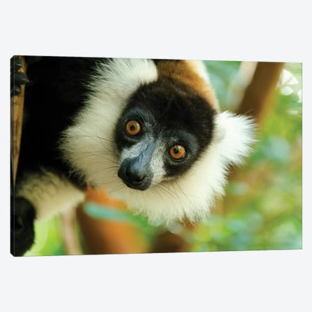 Africa, Madagascar, Lake Ampitabe, Akanin'Ny Nofy Reserve. Headshot Of The Showy Black-And-White Ruffed Lemur. Canvas Print #EGO92} by Ellen Goff Canvas Artwork