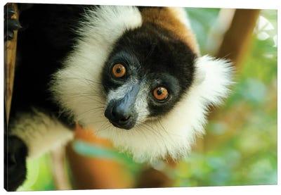 Africa, Madagascar, Lake Ampitabe, Akanin'Ny Nofy Reserve. Headshot Of The Showy Black-And-White Ruffed Lemur. Canvas Art Print