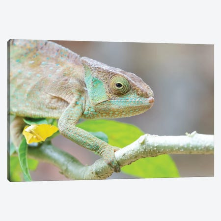 Africa, Madagascar, Marozevo, Peyrieras Reptile Reserve. Portrait Of A Panther Chameleon On A Branch. Canvas Print #EGO93} by Ellen Goff Canvas Art