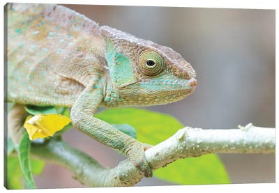 Africa, Madagascar, Marozevo, Peyrieras Reptile Reserve. Portrait Of A Panther Chameleon On A Branch. Canvas Art Print