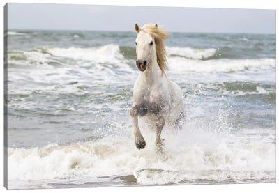 France, The Camargue, Saintes-Maries-de-la-Mer. Camargue horse in the Mediterranean Sea I Canvas Art Print