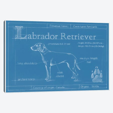Blueprint Of A Labrador Retriever Canvas Print #EHA26} by Ethan Harper Canvas Artwork
