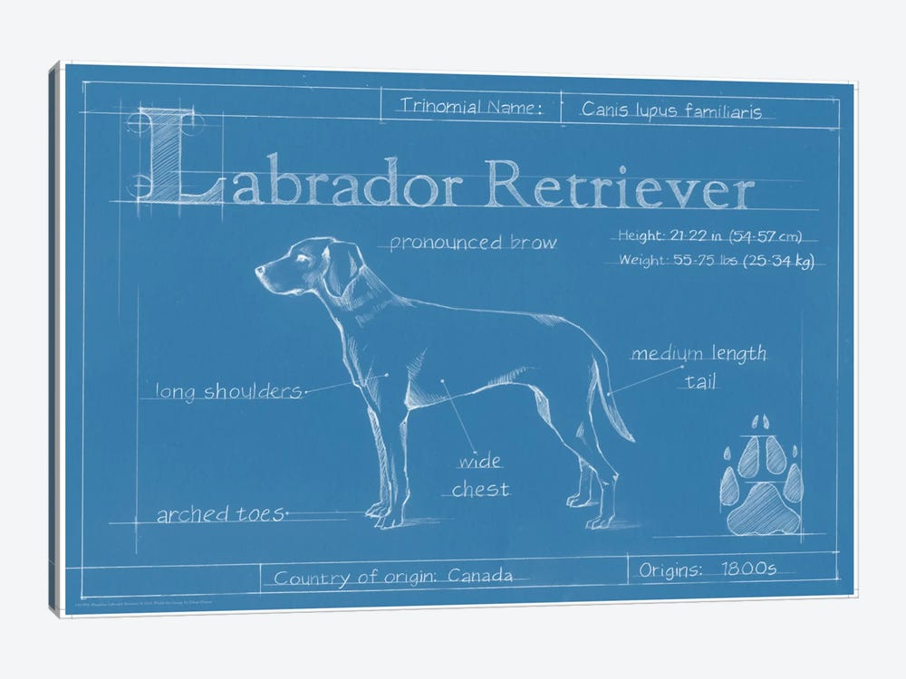 Blueprint Of A Labrador Retriever by Ethan Harper 1-piece Canvas Artwork