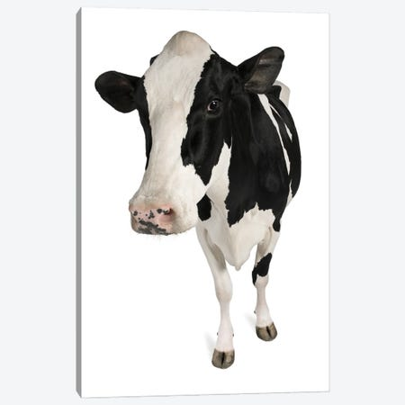 Holstein Cow White Background Canvas Print #EHS12} by Unknown Artist Canvas Art