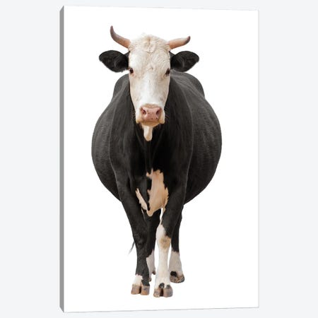 Cow Isolated On White Canvas Print #EHS7} by Unknown Artist Canvas Artwork
