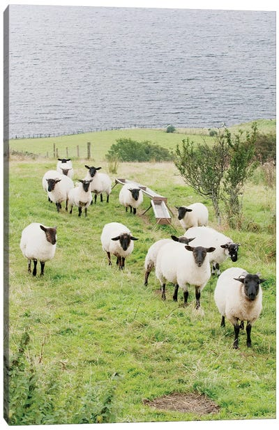 A Flock Of Scottish Blackface, County Donegal, Ulster Province, Republic Of Ireland Canvas Art Print