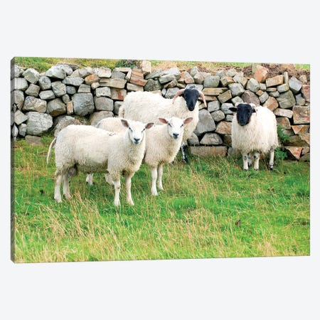 Scottish Blackface & Cheviot Sheep, County Donegal, Ulster Province, Republic Of Ireland Canvas Print #EIB2} by Daniel Schreiber Canvas Wall Art