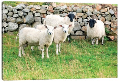 Scottish Blackface & Cheviot Sheep, County Donegal, Ulster Province, Republic Of Ireland Canvas Art Print
