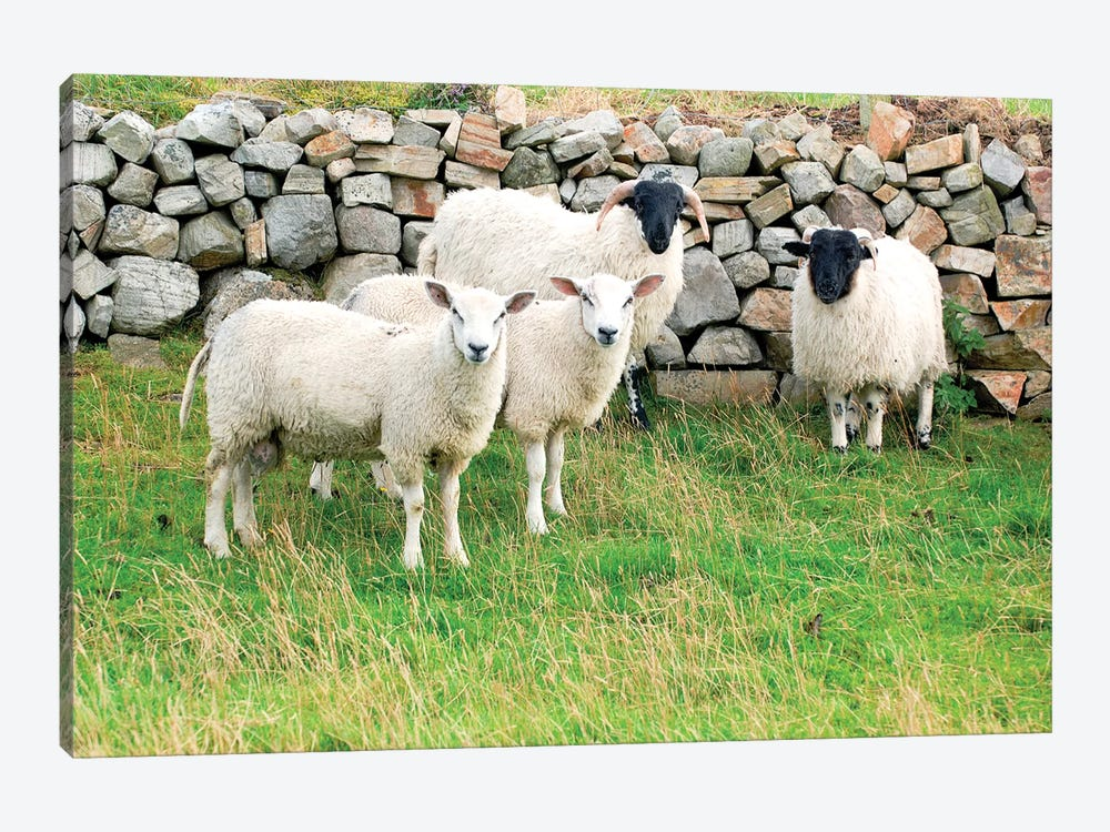 Scottish Blackface & Cheviot Sheep, County Donegal, Ulster Province, Republic Of Ireland by Daniel Schreiber 1-piece Art Print