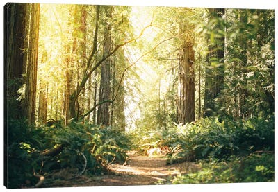 California Redwoods Path Canvas Art Print