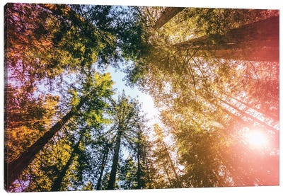 California Redwoods, Sun-rays, and Sky Canvas Art Print