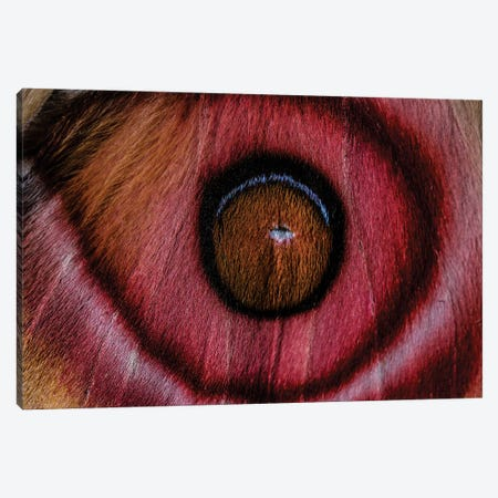 Eye See (Madagascan Suraka Moth) Canvas Print #EKU33} by Elena Kulikova Canvas Artwork