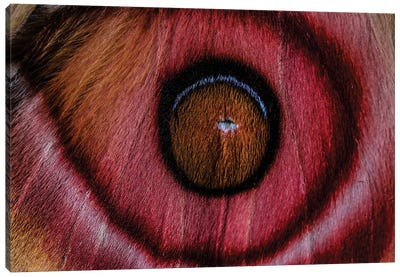 Eye See (Madagascan Suraka Moth) Canvas Art Print