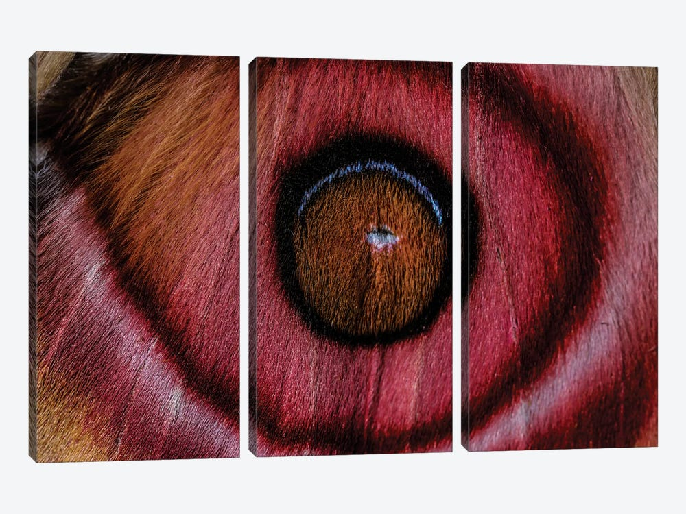 Eye See (Madagascan Suraka Moth) by Elena Kulikova 3-piece Canvas Artwork