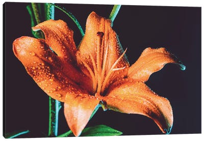 Tiger Lily Dew Canvas Art Print