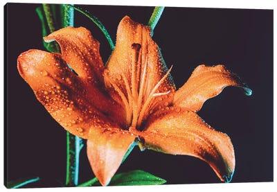 Tiger Lily Dew Canvas Art Print