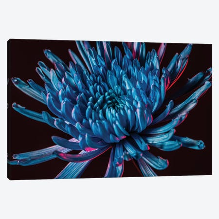 Blue Spider Mum Canvas Print #EKU8} by Elena Kulikova Canvas Wall Art