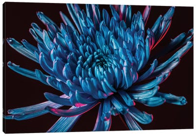 Blue Spider Mum Canvas Art Print