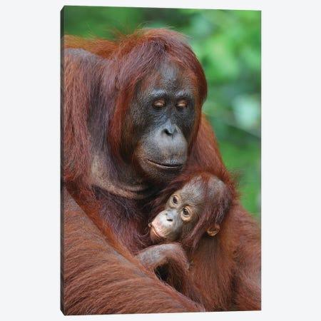 Orangutans Canvas Print #ELM100} by Elmar Weiss Canvas Art Print