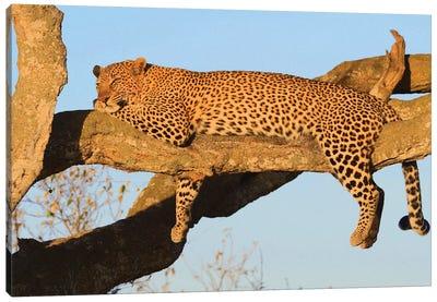 Resting Leopard Canvas Art Print