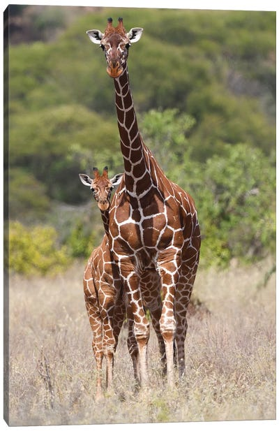 Reticulated Giraffe Canvas Art Print
