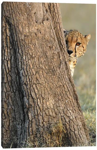 Shy Cheetah Canvas Art Print
