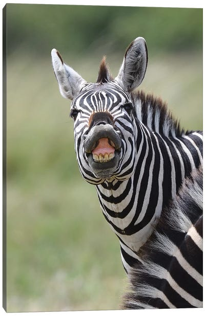 Smiling Zebra Canvas Art Print