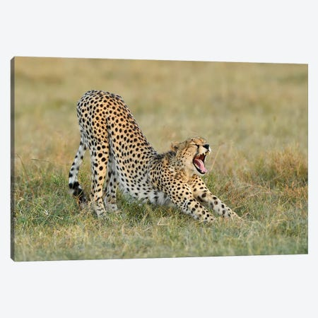 Steaching Cheetah Canvas Print #ELM137} by Elmar Weiss Art Print