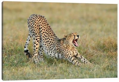 Steaching Cheetah Canvas Art Print
