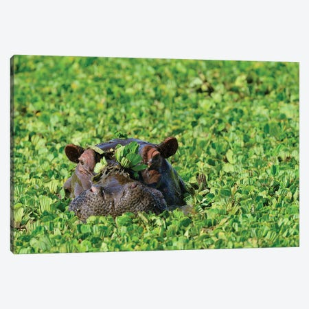 Undercover Hippo Canvas Print #ELM148} by Elmar Weiss Canvas Art Print