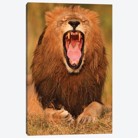 Yawning Lion Canvas Print #ELM161} by Elmar Weiss Art Print